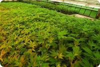 Клонирование марихуаны