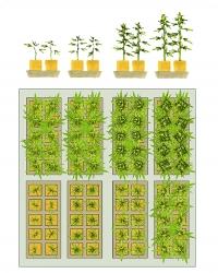 При  таком  простом  расположении  в  каждом поддоне находится 10 растений (всего 80  растений),  которые  освещаются  одной лампой мощностью 1000 ватт. Каждую неделю  снимается  урожай  с  одного  из  поддонов,  в  который  затем  пересаживаются новые растения
